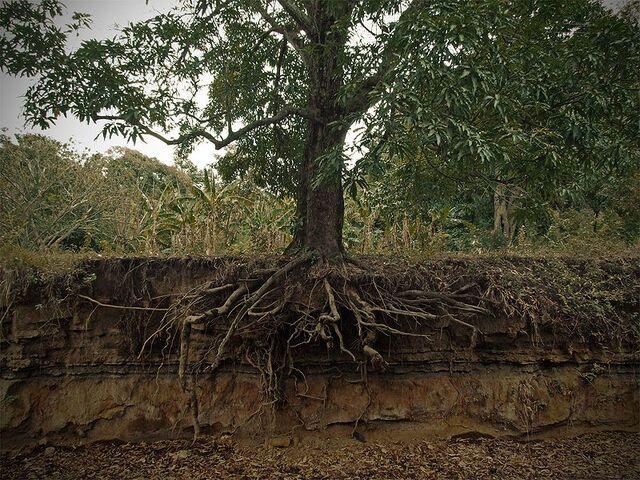 File:Mangifera indica roots cross section.jpg