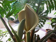 Monstera deliciosa flower