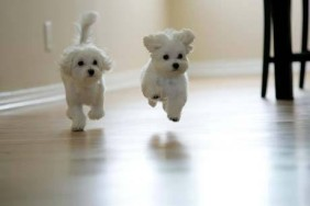 File:282px-Maltese-puppies.jpg