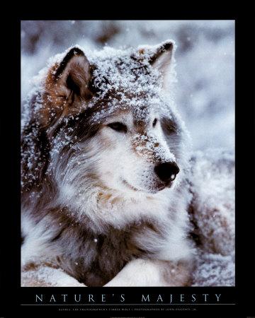 File:Timber-wolf.jpg