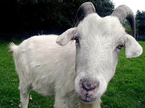 File:Goat.jpg