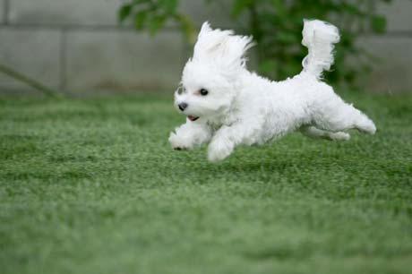 File:Maltese running puppy.21835131 std.jpg