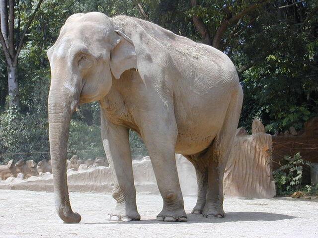 File:Elephant1.JPG