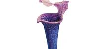 Chalice Plant