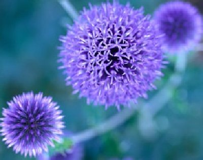 File:Blue-to-purple-perennial-flowers-1.jpg