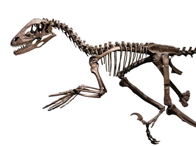 File:Esqueleto de Deinonico.jpg