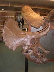 Youngtriceratops