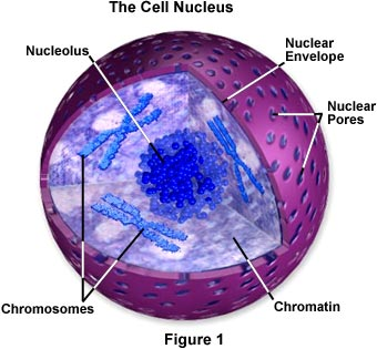 File:Cellnucleus.jpg