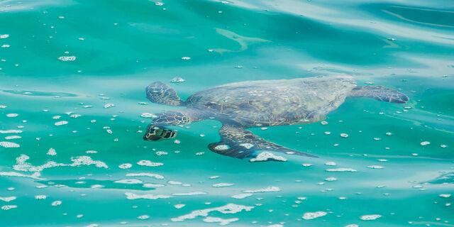 File:Turtle-swimming.jpg