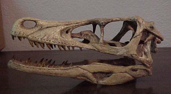 File:VelociraptorSkull3.jpg