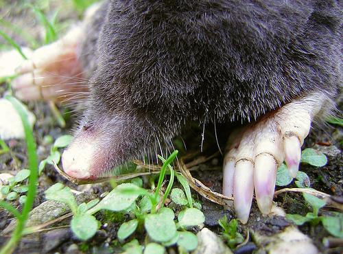 File:Dearest Mole.jpg