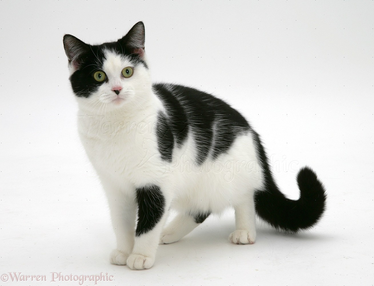 cat background cats evil breeds pete looking type