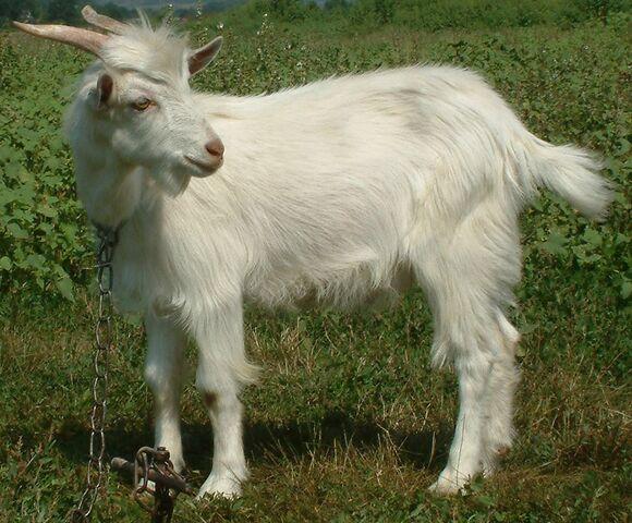 File:Goat kid.jpg