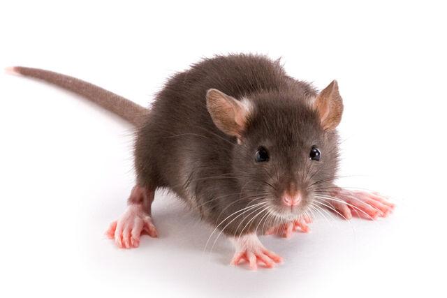 File:Rat.jpg
