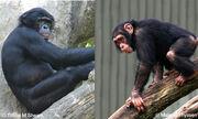 Apes(2)