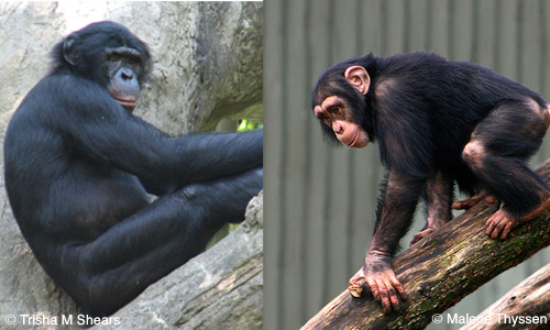 File:Apes(2).jpg