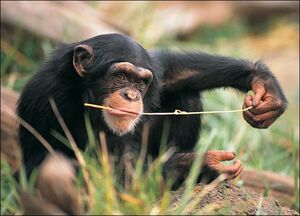 Chimpanzee-picture