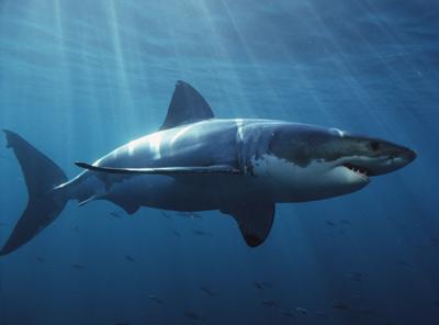 File:Great-white-shark-1.jpg