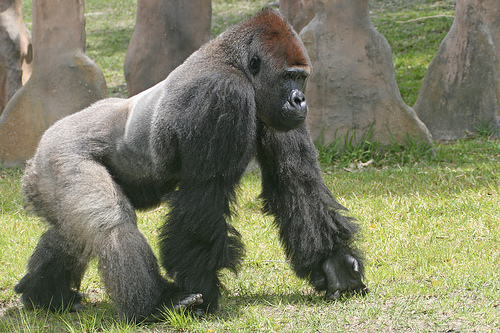 File:Gorillas(2).jpg