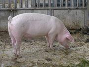 Grazing-pig