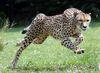 Large cheetah