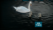 Bbctwo swan 2015