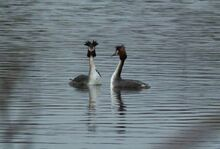 Great Crested Grebes LWC 7.ii.2015