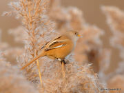 Bearded Reedling 2