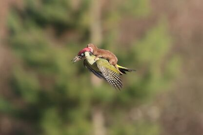 GreenWoodpeckerPlusOne