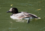 Long-tailed Duck crop
