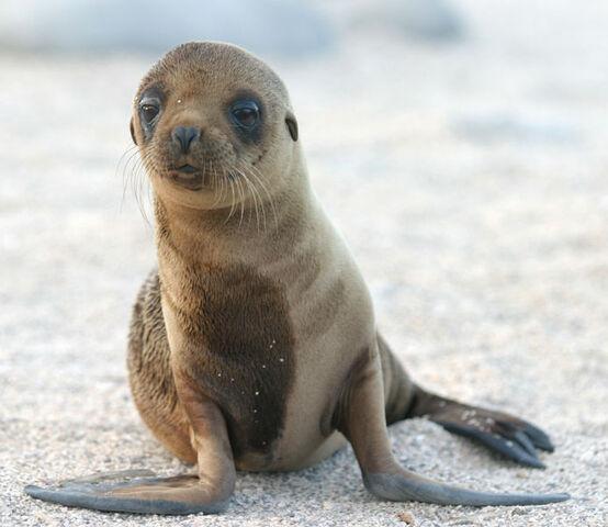 File:693px-Sea Lion Pup.jpg
