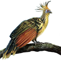 Huge item hoatzin 01
