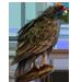 Item turkeybuzzard 01