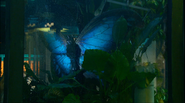 Giant Blue Butterfly