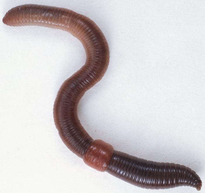 черви паразиты в организме человека фото