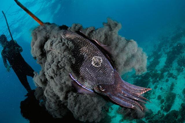 File:08-pharaoh-cuttlefish-670.jpg