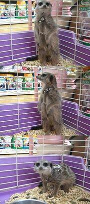 Meerkat Selling in Japan