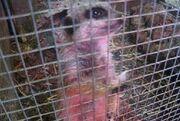 Meerkat Pet 2