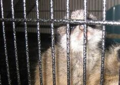 Meerkat pet
