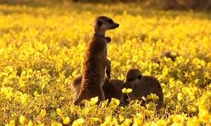 Flower on A Meerkat's Tale