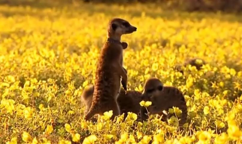 meerkat manor mozart pups