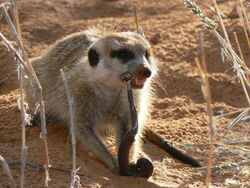 Meerkat eating a millipede