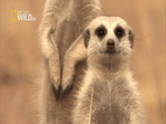 Clan of the Meerkat Screenshot (2)