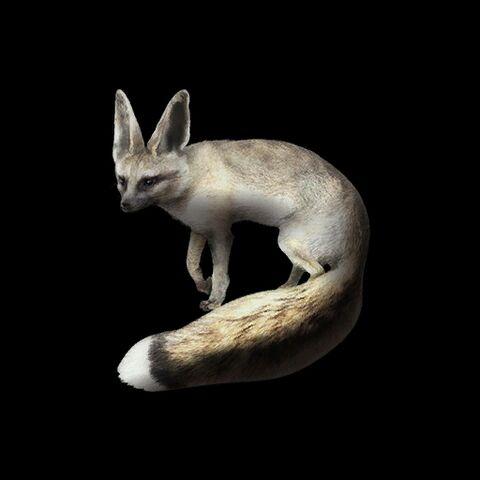 File:Blandford's Fox.jpg
