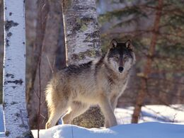 Full-profile-gray-wolf-pictures