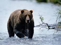 File:Brown bear.jpg
