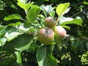 Apples Manova