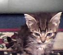 Tabby (cat)