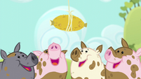 Pigs looking at the corn cob S6E10
