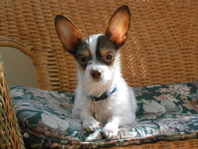 File:CocoChipoo's dog Coco.jpg